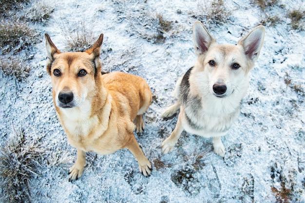 冬の牧草地に座ってカメラを見ている2匹の雑種犬の肖像画