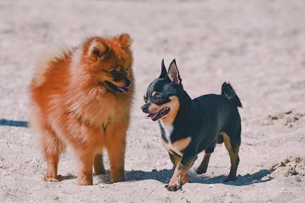 Портрет двух симпатичных счастливых собак. чихуахуа, шпиц на пляже у моря летом. шпиц чихуахуа