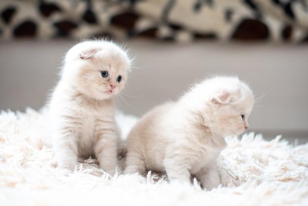 2つの小さなスコティッシュフォールド猫の赤ちゃんの乳白色の肖像画