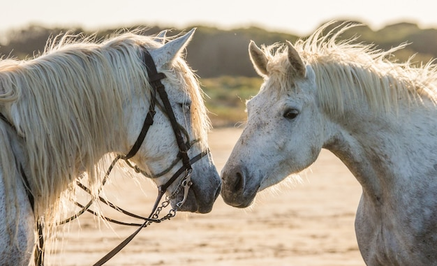 2頭の白いカマルグ馬の肖像画