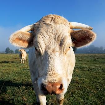 朝の光の中の白い牛の肖像画