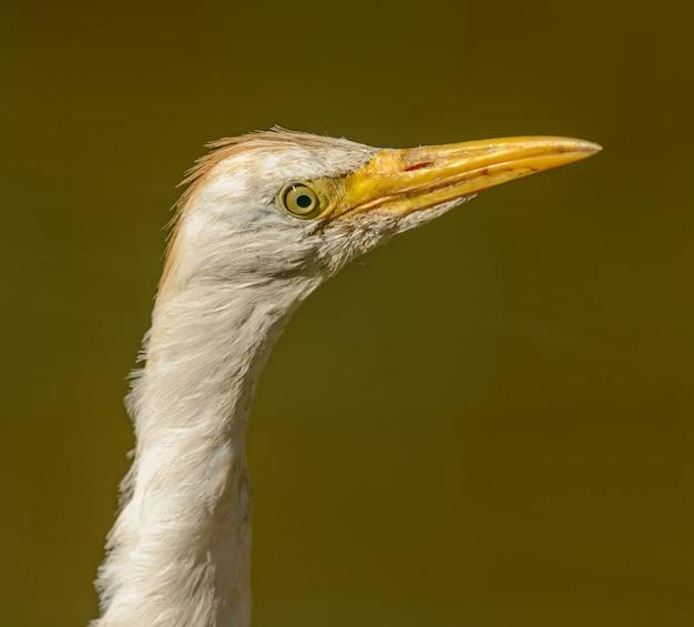 Портрет белой цапли делает длинную шею в зоопарке
