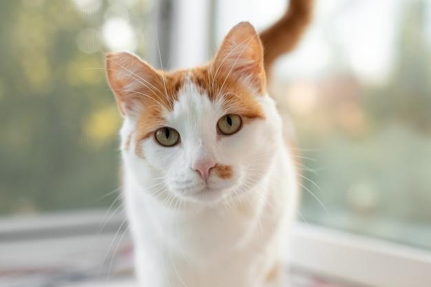 흰색 빨간색 고양이의 초상화입니다. 집 고양이가 창 근처에 앉아 있다