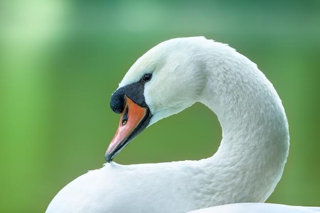 白鳥の肖像