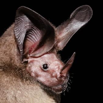 흰목 둥근귀 박쥐의 초상화