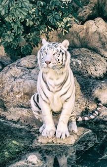 動物園でポーズをとるホワイトタイガーの肖像画 Premium写真