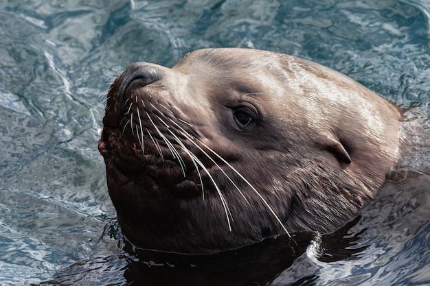 야생 바다 동물 스텔라 바다 사자 또는 북부 바다 사자 eumetopias jubatus의 초상화는 추운 겨울에 수영 ...