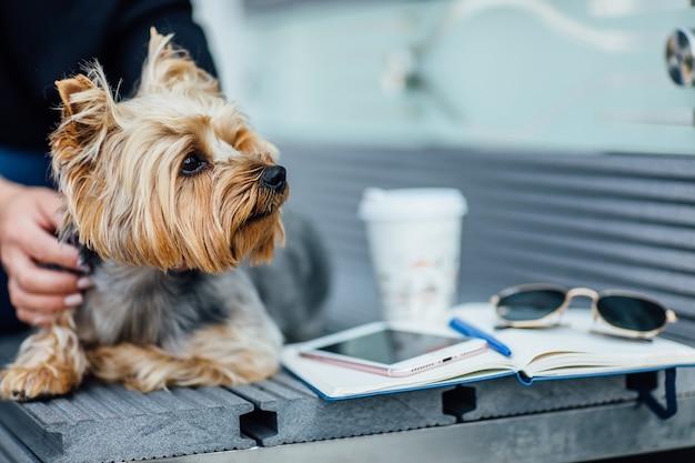 ベンチに座っているヨークシャーテリア犬の肖像画、ファッションコンセプト。彼の女性と。