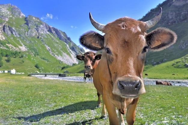 山の牧草地で若い高山の茶色の牛の肖像画