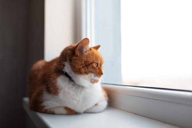 보기를 감탄 창턱에 누워 젊은 귀여운 솜 털 빨간색과 흰색 고양이의 초상화.