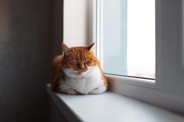 눈으로 창턱에 누워 젊은 귀여운 솜 털 빨간색과 흰색 고양이의 초상화를 닫습니다.
