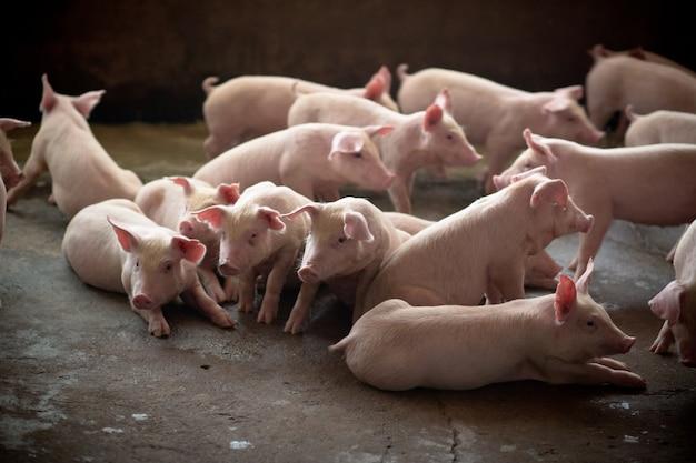 Портрет молодой свиньи