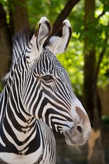 Портрет зебры в зоопарке