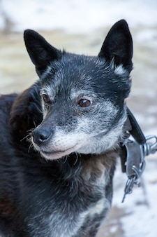 Portrait of old black dog in collar