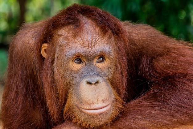 Portrait of the orangutan in the zoo in thailand.