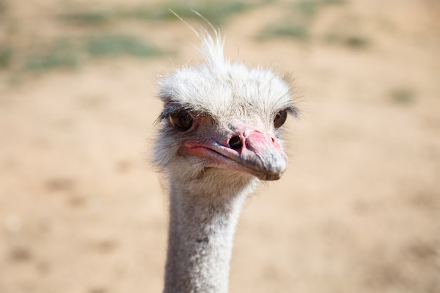 Portrait of an ostrich close up on a sunny day