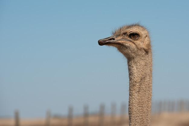 Portrait of ostrich posing in the field