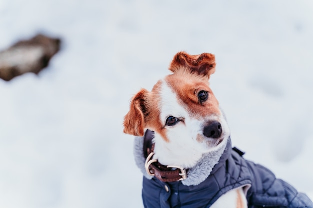 Portrait outdoors of a beautiful jack russell dog at the snow wearing grey coat.