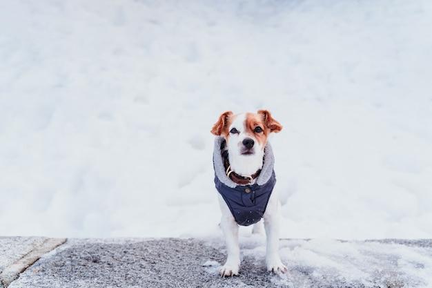 雪の中で美しいジャックラッセル犬の屋外の肖像画。冬の季節
