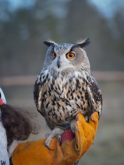 Portrait of an owl sitting on his hand. Premium Photo