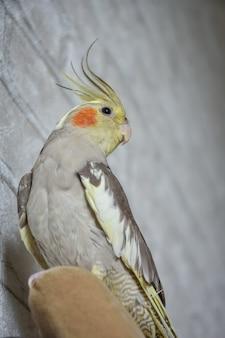 Portrait of parrot cockatiel, cockatiel close-up, gray parrot, home parrot