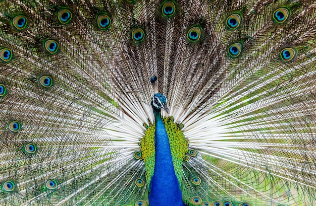 Portrait of a peacock on the background of his tail
