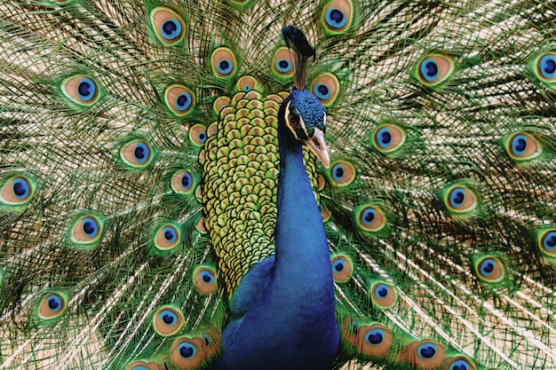 Portrait peacock with beautiful colorful feather