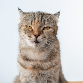 Portrait photo of scottish fold cat with annoying or angry face.