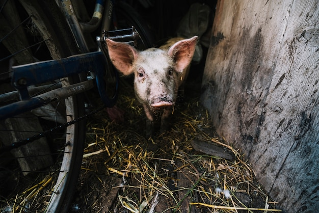 Portrait of a pig in the pigsty