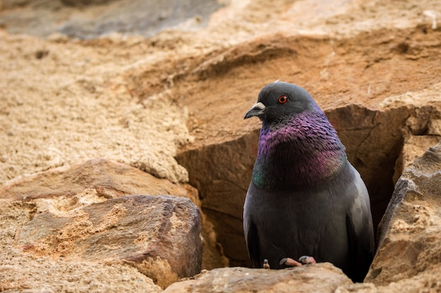 Portrait of a pigeon nesting in a hole in an old stone wall