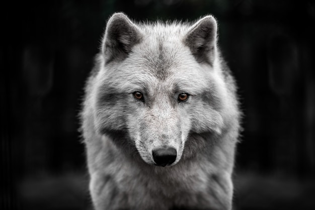 Portrait of polar wolf handsome young male.
