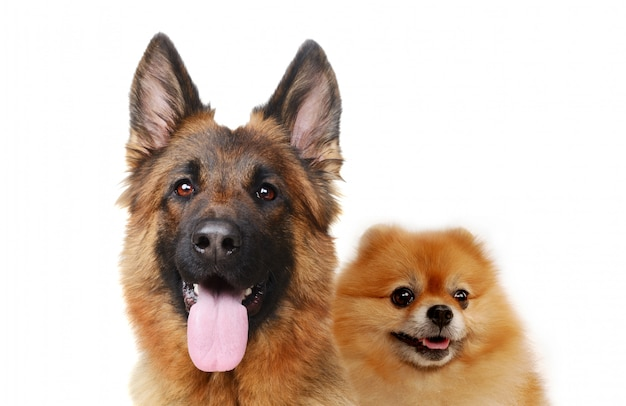 Portrait of pomeranian spitz and german shepherd