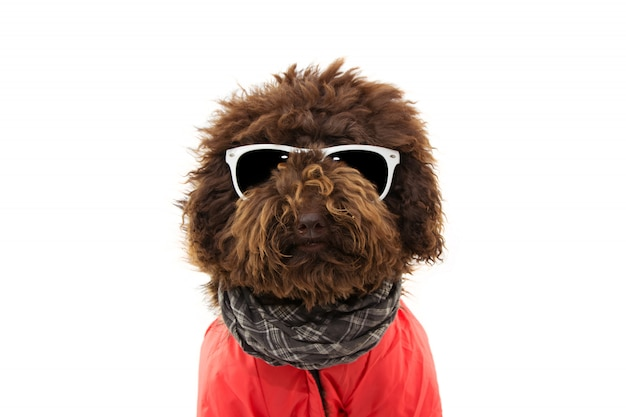 Portrait poodle dog wearing warm red coat and glasses.