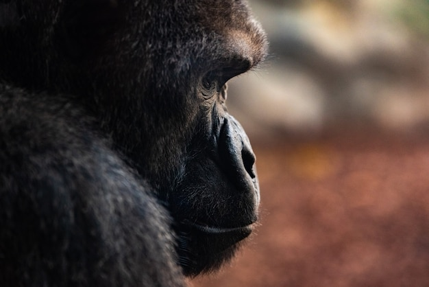 Portrait of a powerful gorilla with expressive eyes.