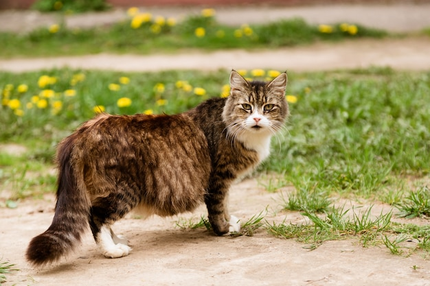 Portrait of pregnant cat walking on the lawn