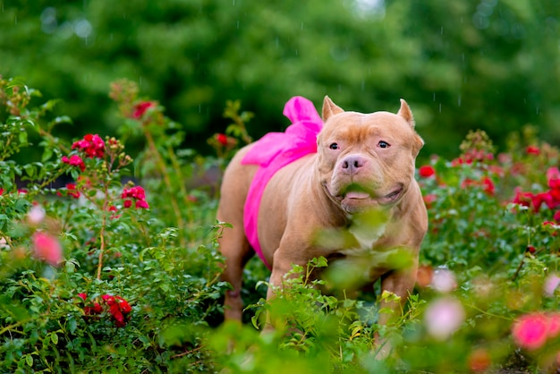 Portrait of a pregnant dog with a ribbon, a bow on the belly. serious pet american bully, in the garden on the background of bushes with roses outdoors.  copy space