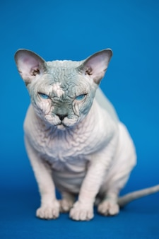 Portrait of pretty canadian sphynx cat  breed of cat known for its lack of fur front view of animal