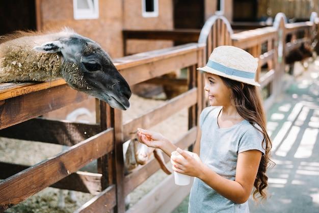 Portrait of a pretty girl feeding food to alpaca in the farm