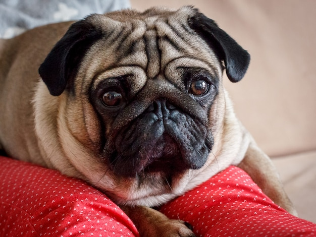 Portrait of a pug dog with big eyes