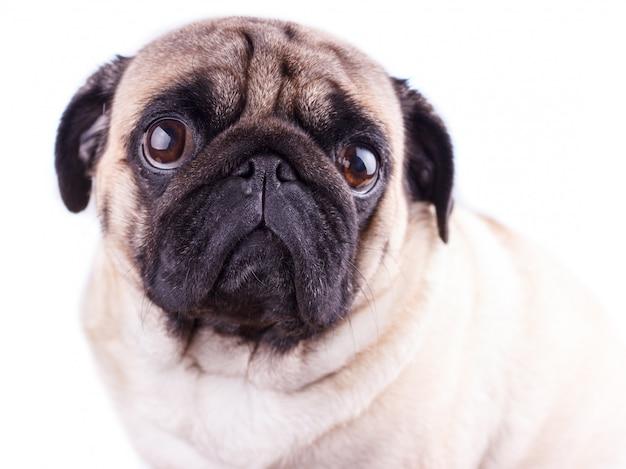 Portrait of a pug dog with big sad eyes.