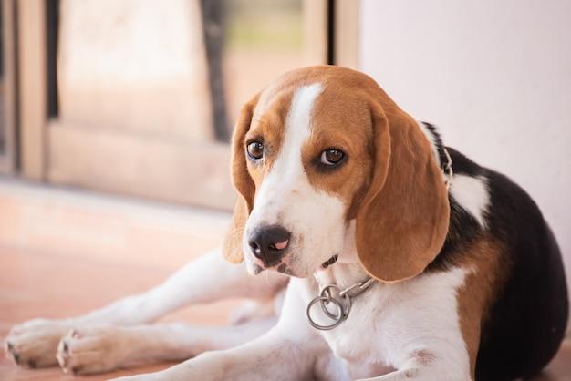 Portrait of puppy beagle dog, animal concept