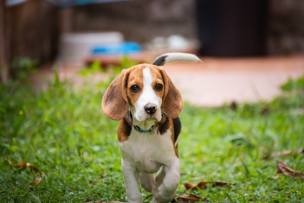 Portrait of puppy beagle on the floor
