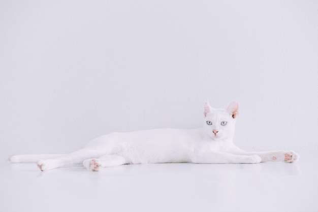Portrait of pure white cat lying down on floor at home with white.