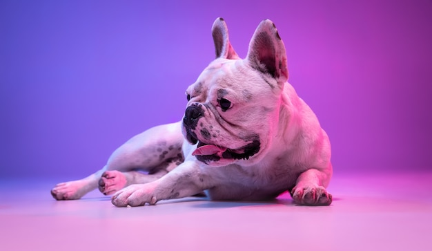 Portrait of purebred dog bulldog isolated over studio surface in neon gradient pink purple light.