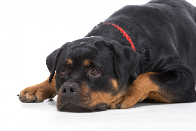 Portrait of a purebred rottweiler with red thong.