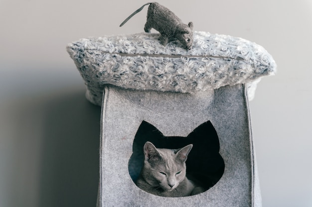 Portrait of purebreed russian blue cat with funny expressive muzzle plaing with toy mouse at cat house.  animals frinedship.
