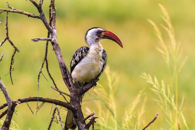Portrait of red -billed hornbill in tarangire. tanzania, africa