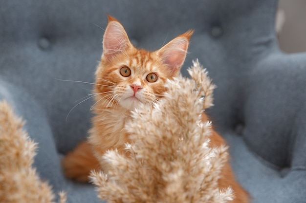 Portrait of a red cat. red cat maine coon