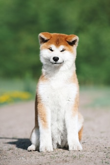 Portrait of a red cute puppy of the akita inu breed. the dog sits and looks forward on a blurred green background