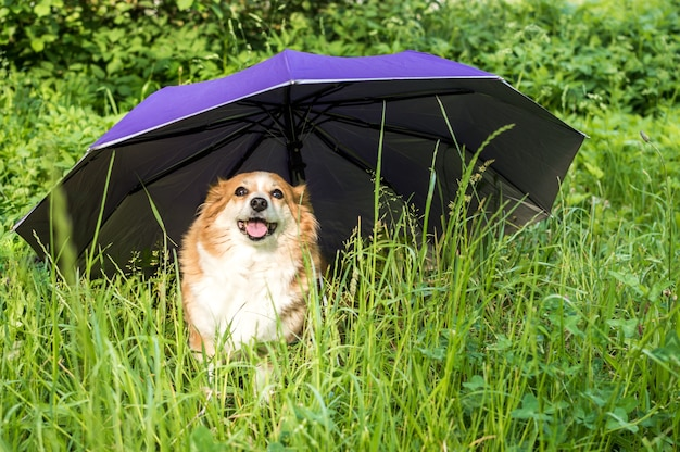 Portrait of a red dog in the grass under an umbrella. animal insurance concept. animal protection. dog protection.